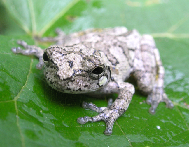 Gray tree frog - photo#2
